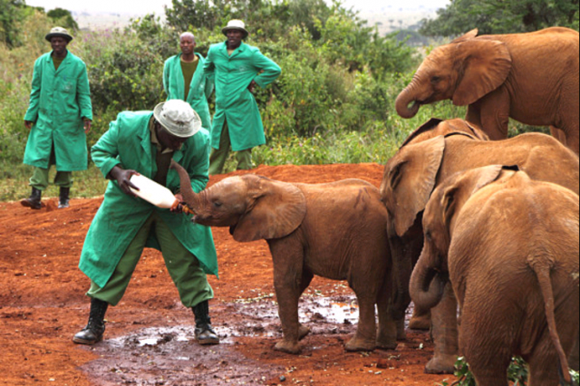 Infant elephants are fed synthetic mother's milk at the Nairobi Elephant Orphanage.